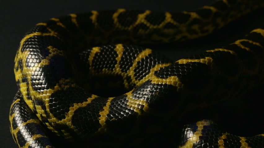Crawling yellow anaconda in shadow