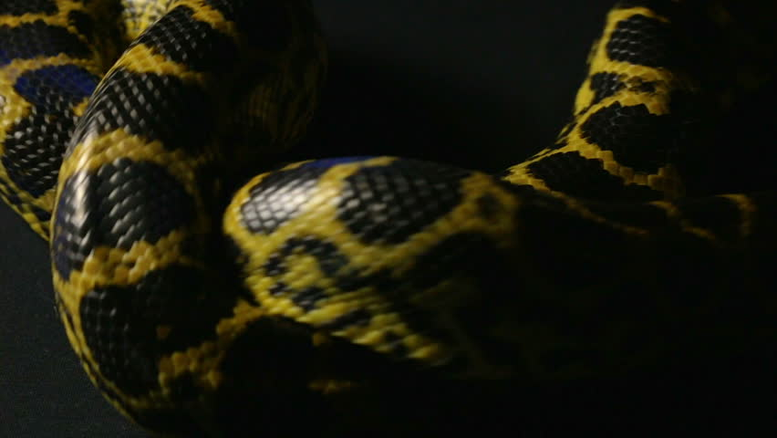 Knot of yellow python #1010119292