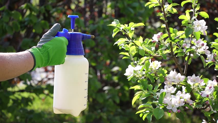 Gardener with gloves spraying a blooming fruit tree against plant diseases and pests. Using spray bottle with pesticide in the garden.