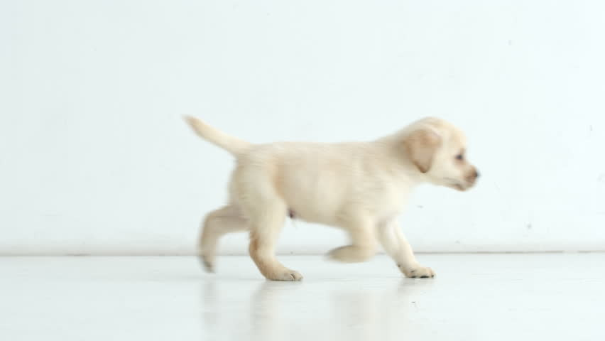 Labrador puppy runs from left to right