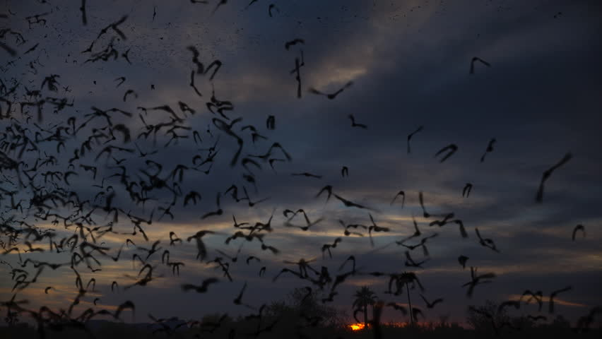 Flying bats stream through sky at sunset, cloud time-lapse, composite. 4K UHD 3840x2160   Shutterstock HD Video #1010221538