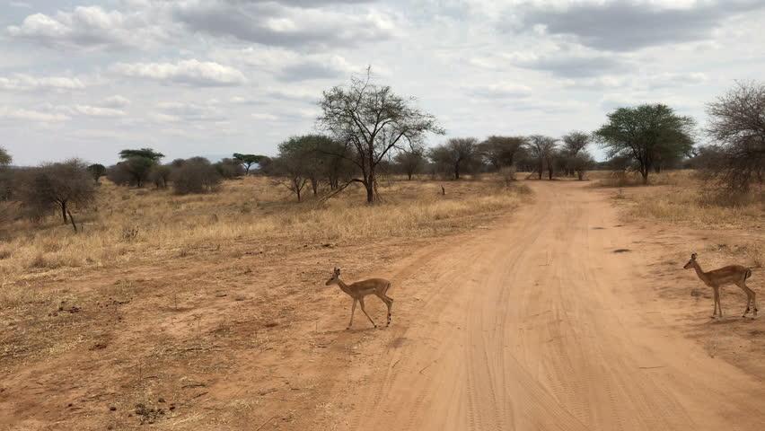 Deers at tarangire national park Tanzania | Shutterstock HD Video #1010228996