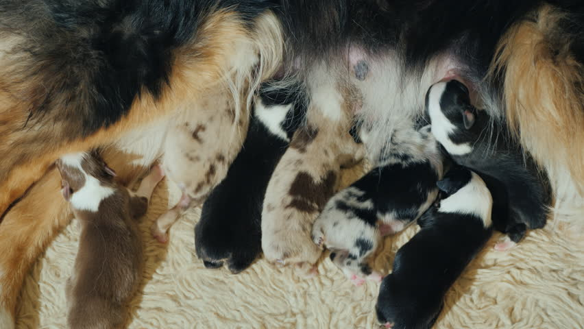 A few Australian Shepherd puppies eat mother's milk