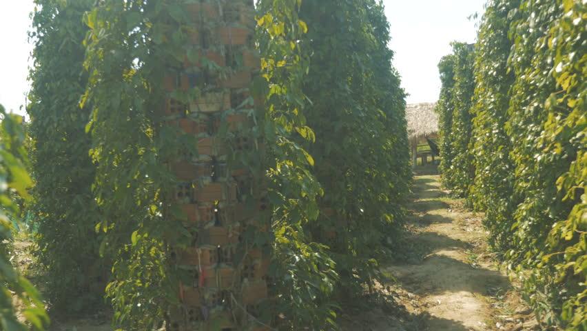 Pepper Plantation in Kampot, Cambodia   Shutterstock HD Video #1010268365