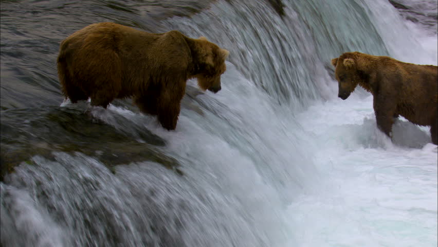 View of large brown bears Brooks Falls river fishing in remote wilderness National Park and Reserve Alaska USA | Shutterstock HD Video #1010339669
