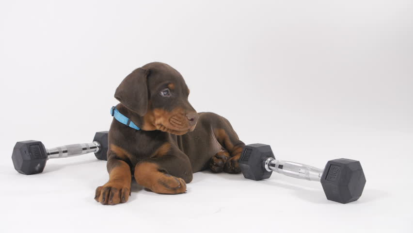 Puppy Doberman and dumbbells | Shutterstock HD Video #1010346575