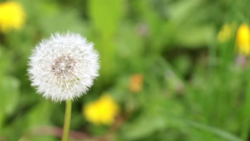 Dandelion against the background of grass, close-up.