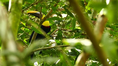Chestnut-Mandibled Toucan eating fruit with exotic yellow and plum bill