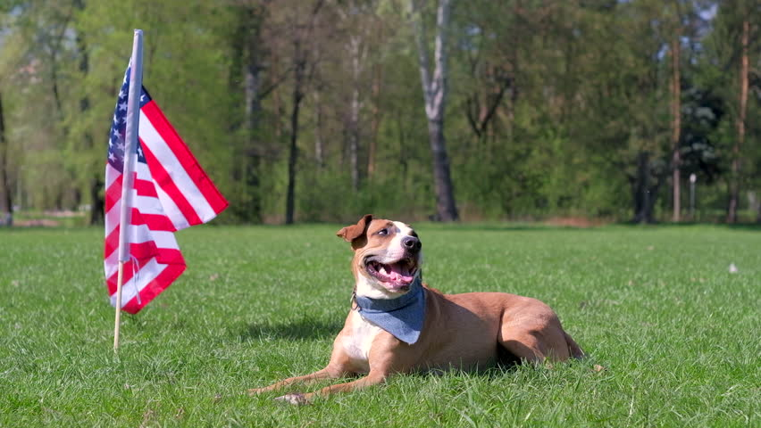 Beautiful trained or service pitbull terrier lying, resting and sniffing air on warm sunny day outdoors, american flag in background as concept of Independence Day