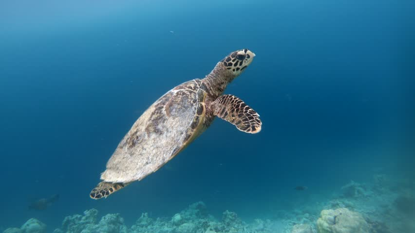 Hawksbill sea turtle (Eretmochelys imbricata), critically endangered marine reptile, swimming underwater on corals in shallow waters. Maldives, Asia, Indian Ocean. Wild animal, wildlife | Shutterstock HD Video #1010521472