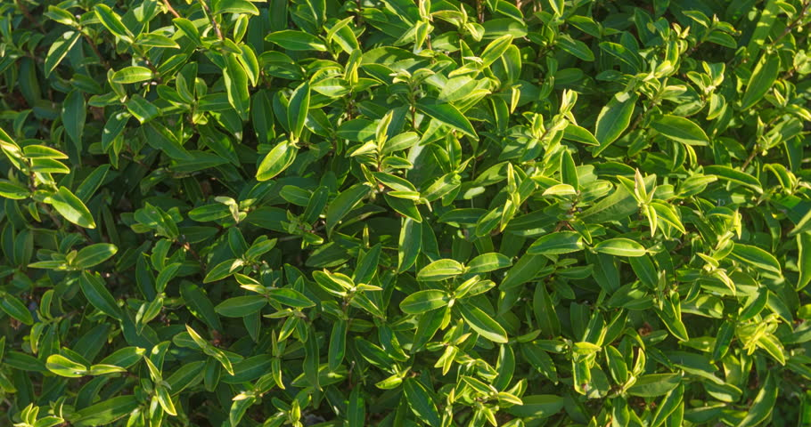 Tea trees close-up in sunny weather. 4k video | Shutterstock HD Video #1010720378