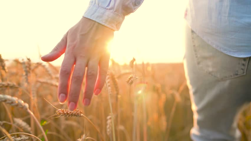 Female hand touching wheat on the field in a sunset light #1010733758