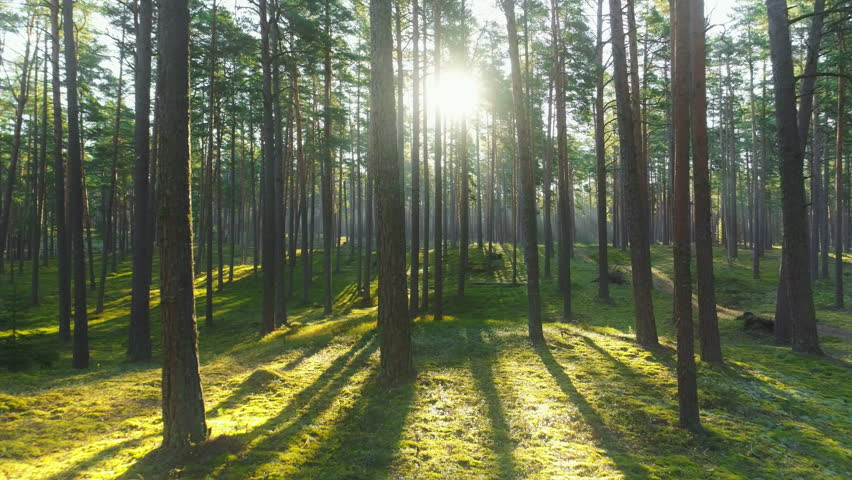 Wild pine forest with green moss under the trees. Moving between trees in beautiful sunny morning just after sunrise.
