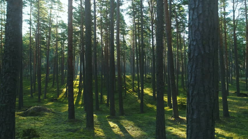Wild pine forest with green moss under the trees. Moving between trees in beautiful sunny morning just after sunrise. | Shutterstock HD Video #1010800061