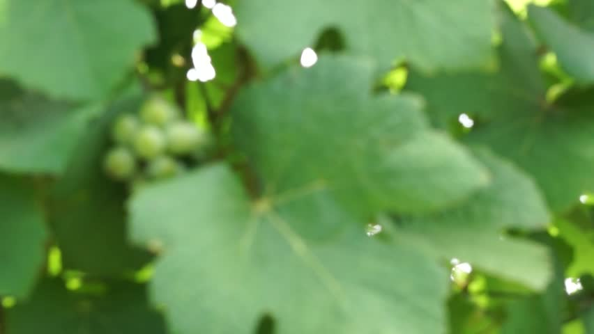 Bunches of Grapes Hanging in Vineyard. Rows of pinot noir grapes ready to be picked in vineyard at sunrise. #1010800847