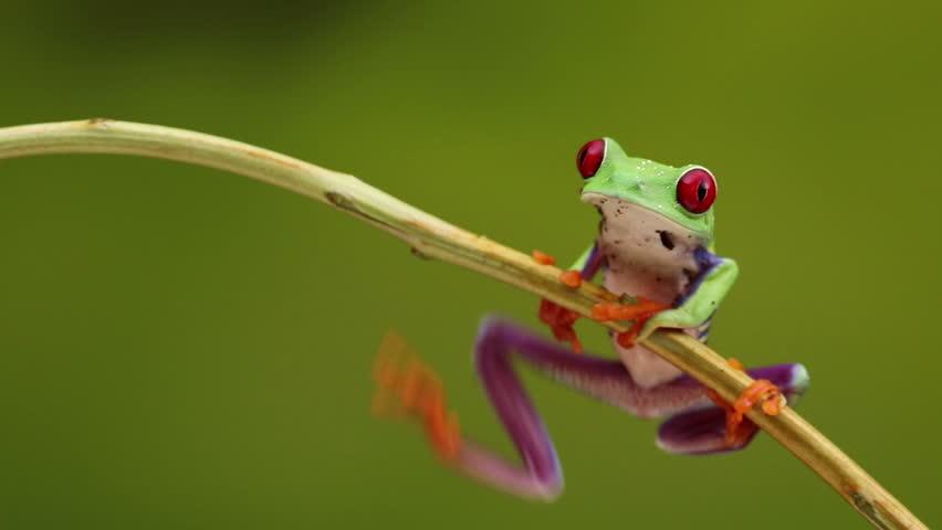 Red Eyed treefrog sitting