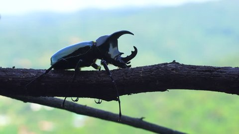 Rhinoceros beetle on tree branches, 4k ProRes on motion zoom in motion.