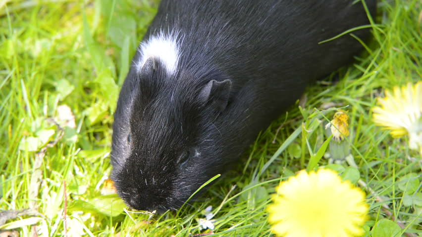 Guinea pigs in the grass eating. Domestic animal in the outdoor in the green grass lawn. Guinea pig (Cavia porcellus) is a popular household pet. | Shutterstock HD Video #1010890928