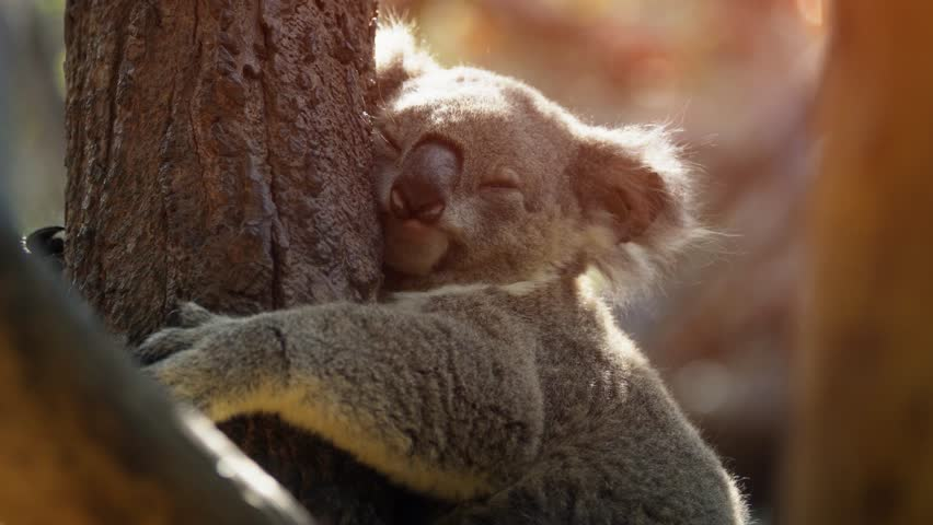 Cute. mature koala in closeup. dozes off as it clings to the trunk of a tree. Ultra HD 4k video with nature sounds. | Shutterstock HD Video #1010919443