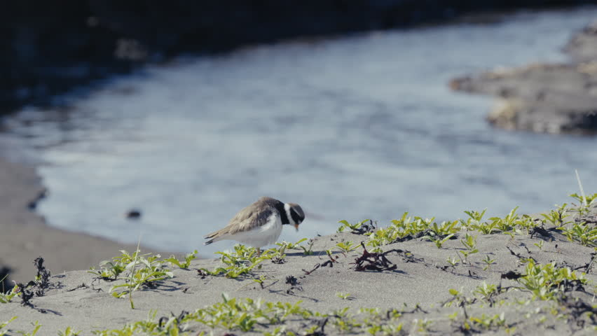 Large plover in the sand | Shutterstock HD Video #1010919992