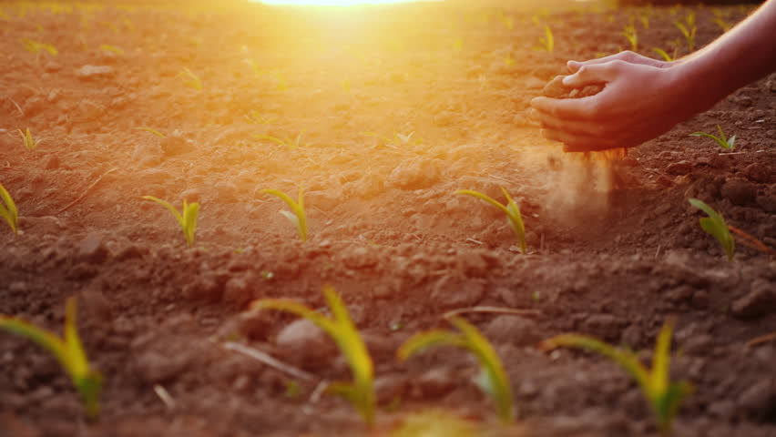 The farmer's hands are testing the soil on a field with young corn seedlings