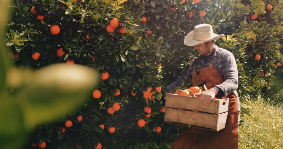 Farmer picking orange fruits from orange trees agricultural orchard in the Mediterranean Royalty-Free Stock Footage #1011117464