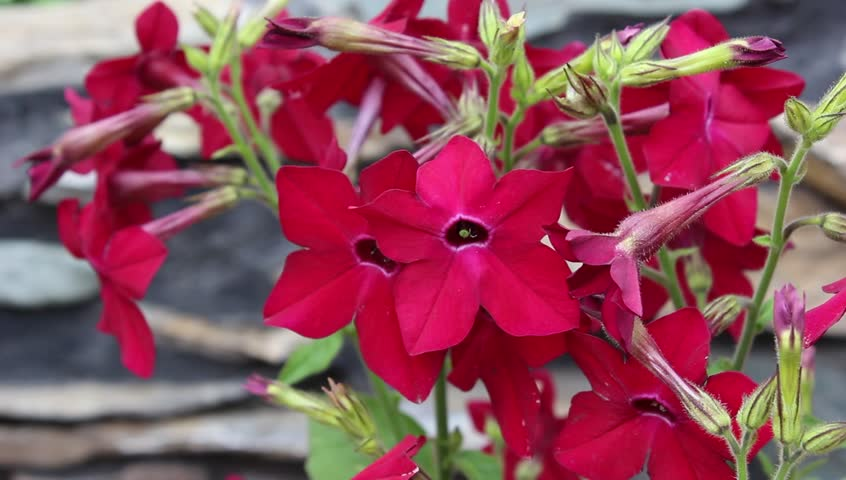 Fragrant tabak bloom in the garden | Shutterstock HD Video #1011142868