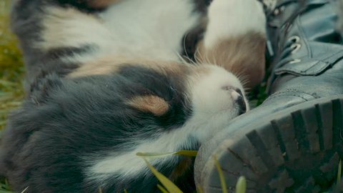 Close up shot of a cute Burnese Mountain dog puppy sleeping against a boot on the front lawn