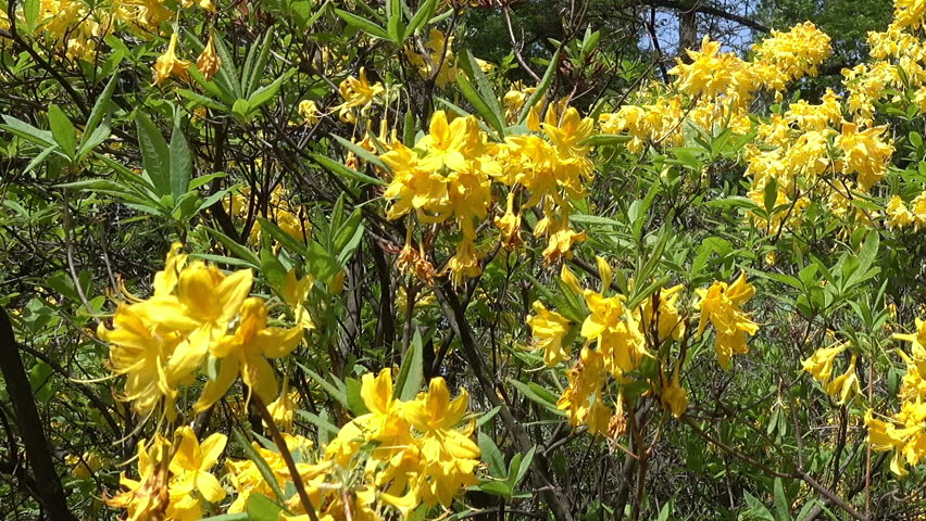 Close Up Of Flowering Flowers Rhododendron Yellow In The Park
