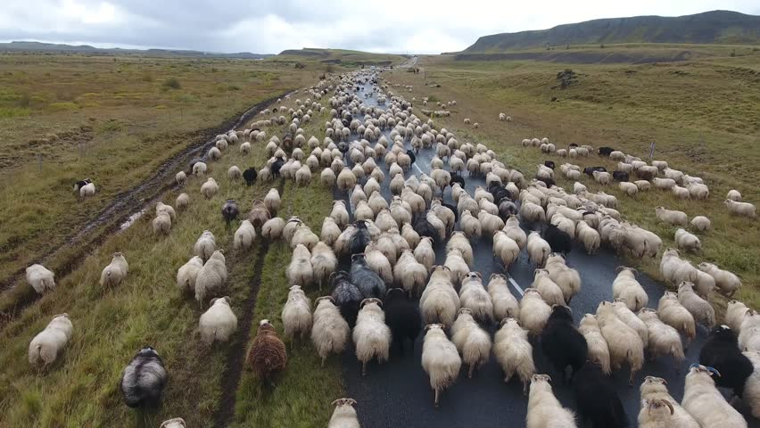 Aerial drone shot flying over a flock of sheep walking on the road in Iceland. Cloudy day, low altitude flight