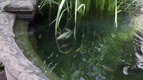 Koi fish swim in a pond with a fountain in a beautiful garden.