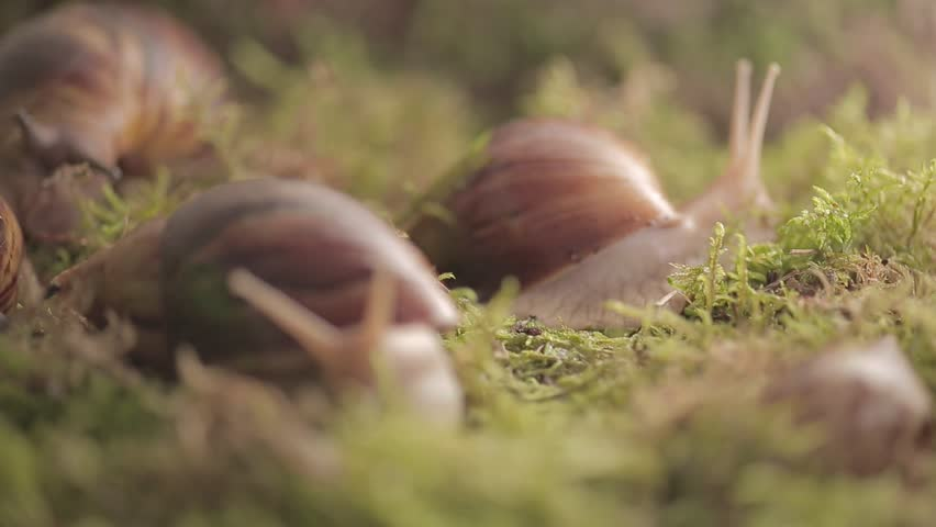 Huge snails of ahaatin creep along the grass, the life of wild, female and male, home clam, antennas, mucus, vile, lovely | Shutterstock HD Video #1011312464