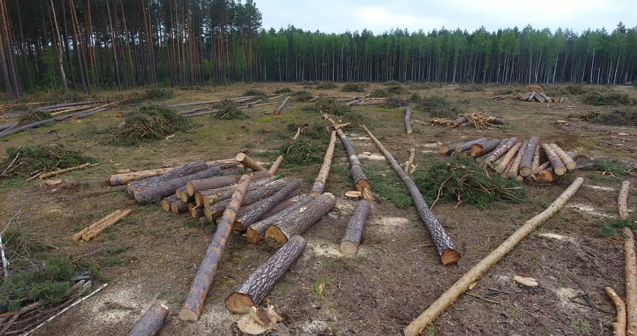 Aerial view along cutting down pine forest with lying trunks on plantation, deforestation trunk tree with special car   Shutterstock HD Video #1011389711