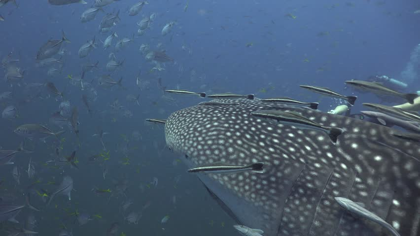 Whale Shark Surrounded by Remoras | Shutterstock HD Video #1011392378