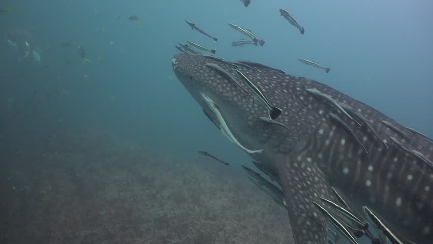 Whale shark with injured face surrounded by school of bigeye trevally | Shutterstock HD Video #1011396371