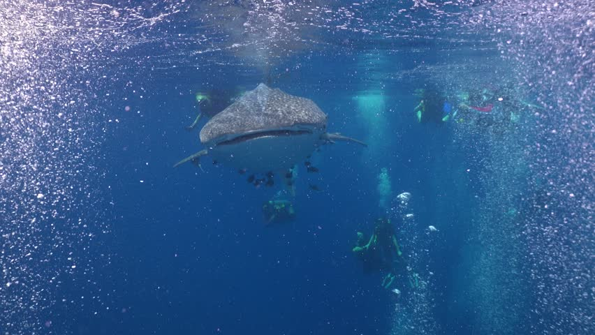 Whale shark swallow bubbles on the surface  | Shutterstock HD Video #1011397643
