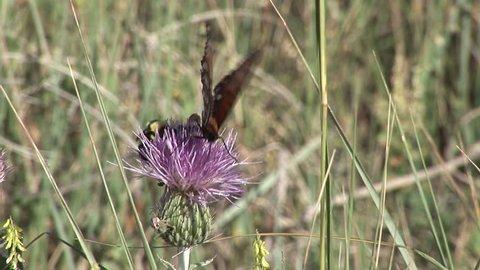 Regal Fritillary Adult Eating in Summer Nectar Thistle Pollinators in South Dakota