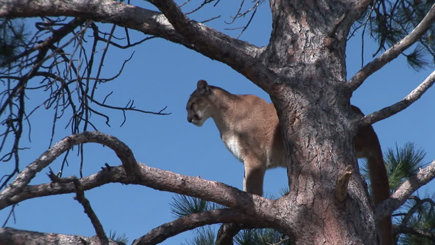 Mountain Lion Adult Lone Standing in Summer Branch in South Dakota