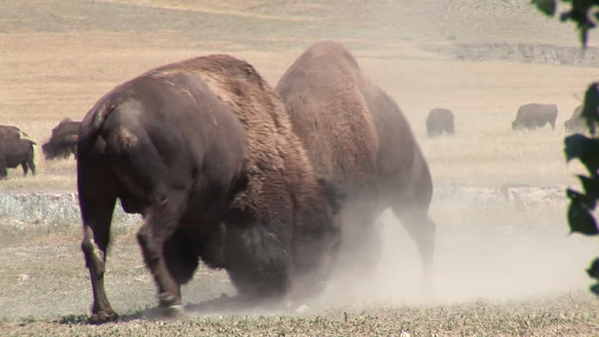 Bison Bull Male Adult Pair Fighting