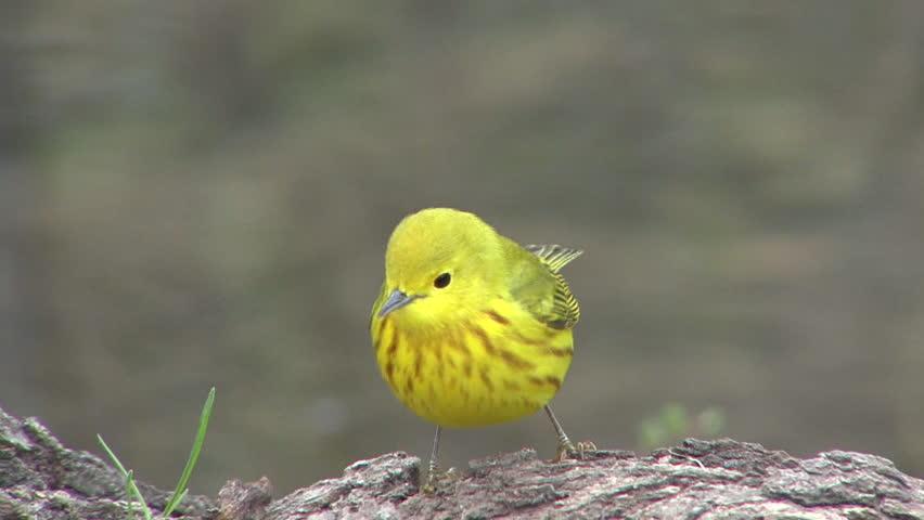 Yellow Warbler Adult Lone in Spring in South Dakota