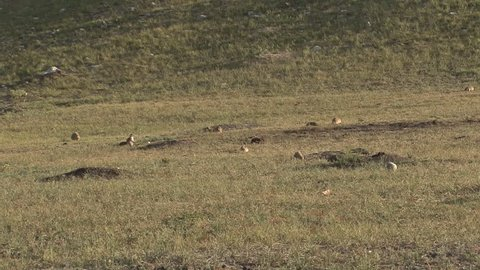 Black-tailed Prairie Dog Colony Prairie Dogs Alarmed Spooked Frightened in Summer Running Danger in South Dakota