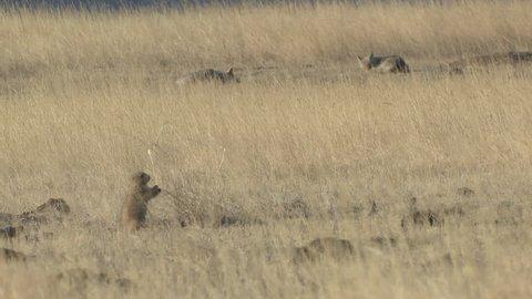 Black-tailed Prairie Dog Adult Eating in Winter Sleeping Predator Prey in South Dakota