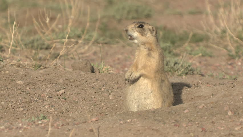 White-tailed Prairie Dog Adult Lone Alarmed Spooked Frightened in Spring Alarm Call Going Down Burrow Escaping in Wyoming