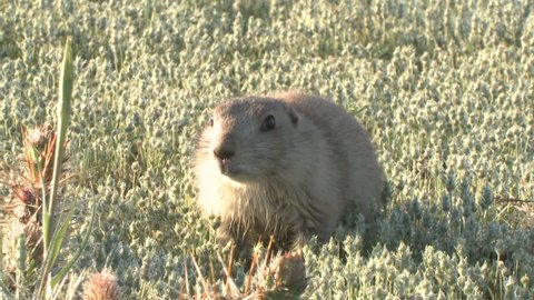Black-tailed Prairie Dog Young Pup Lone Alarmed Nervous Wary in Spring in South Dakota