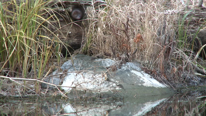 Mink Adult Lone Hunting Foraging in Fall in South Dakota