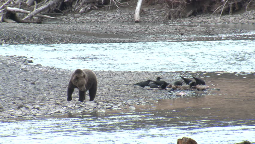 Grizzly Bear Adult Immature Lone Drinking Water in Fall in Wyoming