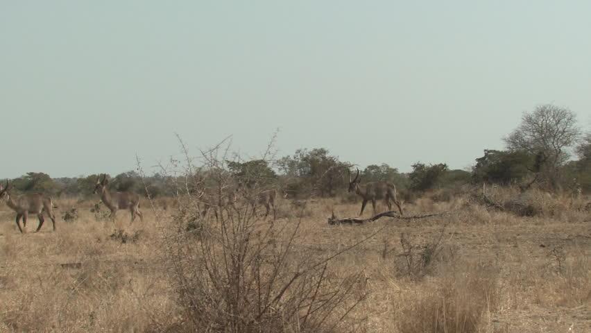 Waterbuck Male Female Herd Several Walking Dry Season in South Africa | Shutterstock HD Video #1011489365