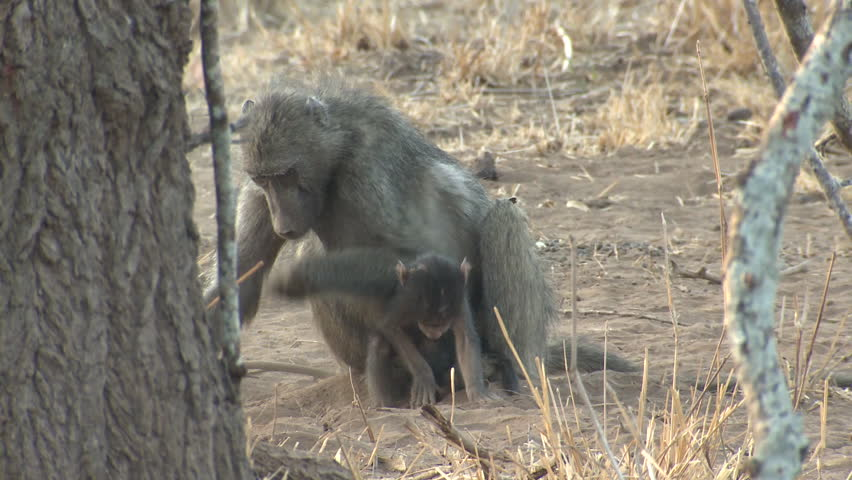 Chacma Baboon Female Adult Young Baby Several Monkeys Intolerant Moving Away Dry Season Carrying Hanging On Riding in South Africa | Shutterstock HD Video #1011489587