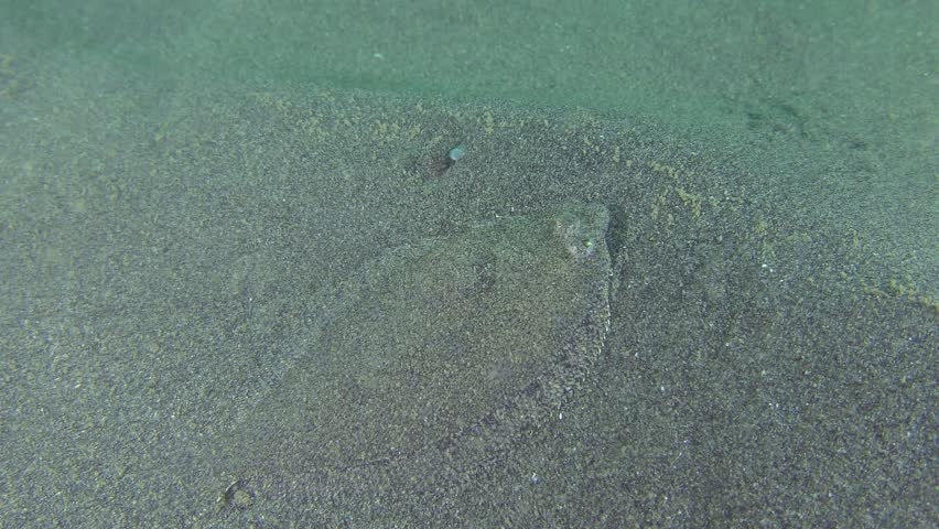 Flounder Scaldback (Arnoglossus kessleri) turns in front of the camera.