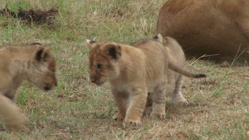 close up of three lion cubs playing as mother lion watches.  Royalty-Free Stock Footage #1011578117
